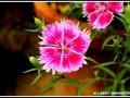 maharahstra-flower-10