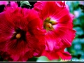 maharahstra-flower-3
