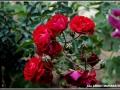 maharahstra-flower-4