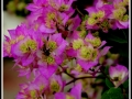 maharahstra-flower-5