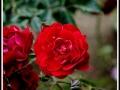 maharahstra-flower-6
