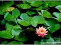 maharahstra-flower-7