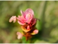 pink-flower-2-kaas