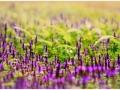 violet-flower-kaas-pathar