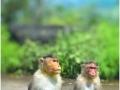 monkeys-thoseghar